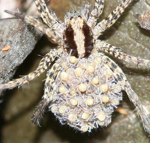 Baby Wolf Spiders! | Flickr - Photo Sharing!