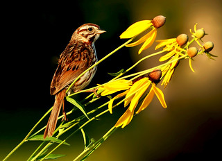 Song Sparrow in the Prairie