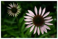 flower, wildflower, flora, daisy, purple coneflower, petal,