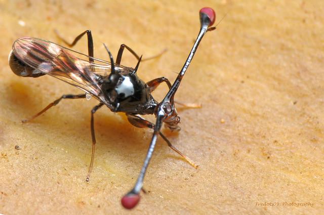 stalk eyed fly