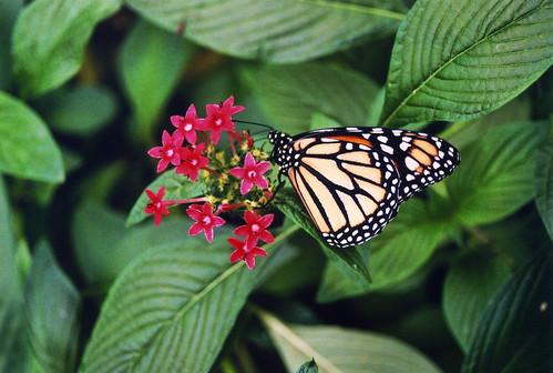 italy nature butterfly insect fvg ud 2010 friuli bordano friuliveneziagiulia casadellefarfalle