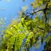 Small photo of Jacaranda mimosifolia