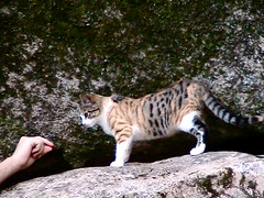 animal, bengal, small to medium-sized cats, pet, mammal, fauna, cat, wild cat,