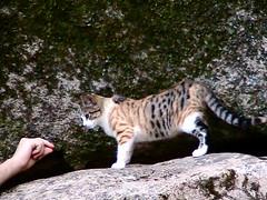 tiger(0.0), ocelot(0.0), wildlife(0.0), animal(1.0), bengal(1.0), small to medium-sized cats(1.0), pet(1.0), mammal(1.0), fauna(1.0), cat(1.0), wild cat(1.0),