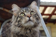 domestic long-haired cat, animal, tabby cat, british semi-longhair, small to medium-sized cats, pet, mammal, european shorthair, pixie-bob, fauna, siberian, close-up, cat, wild cat, whiskers, norwegian forest cat, domestic short-haired cat,