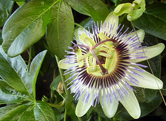 purple passionflower(0.0), giant granadilla(0.0), flower(1.0), plant(1.0), macro photography(1.0), flora(1.0), close-up(1.0), passion fruit(1.0), petal(1.0),