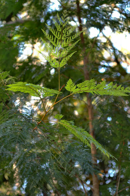 Stenocarpus davallioides - Fern Leaved Stenocarpus