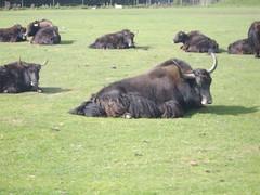 cattle-like mammal, animal, bull, mammal, herd, fauna, cattle, yak, pasture, grassland,