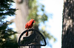 Close-up of a Beautiful Cardinal