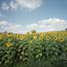 sunflower field (black slim devil) by .sxf