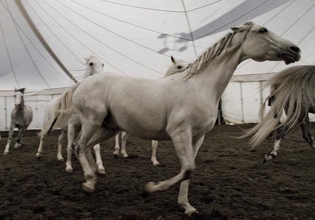 Cavalia horses, rehearsal; San Francisco (2010)