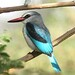Woodland Kingfisher (Julia Casson)