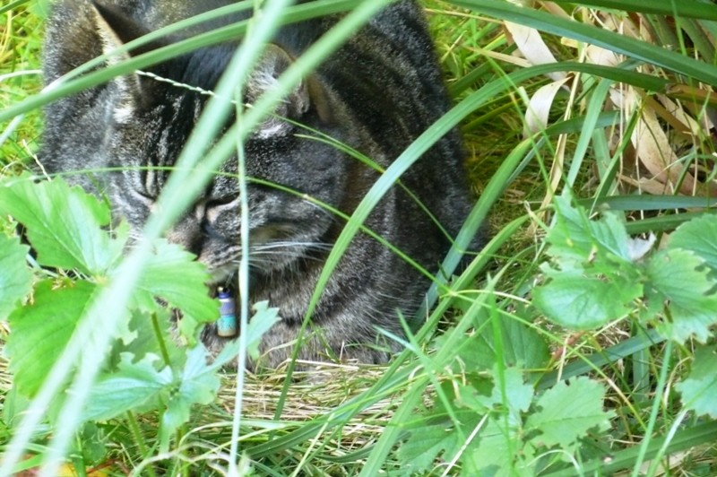 Tabby hiding in the Pampas