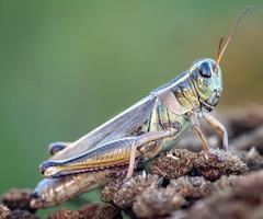 arthropod(1.0), locust(1.0), animal(1.0), cricket(1.0), invertebrate(1.0), insect(1.0), macro photography(1.0), grasshopper(1.0), fauna(1.0), close-up(1.0),