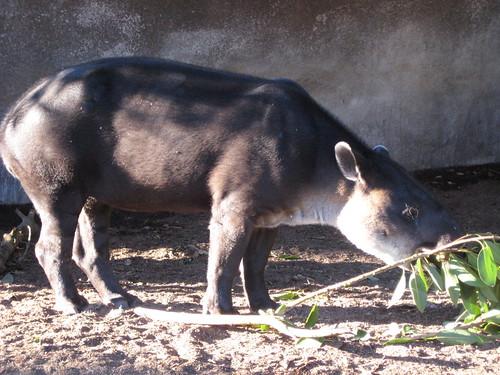 Another tapir