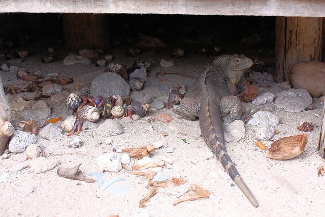 Trinidad - iguana & hermit crabs