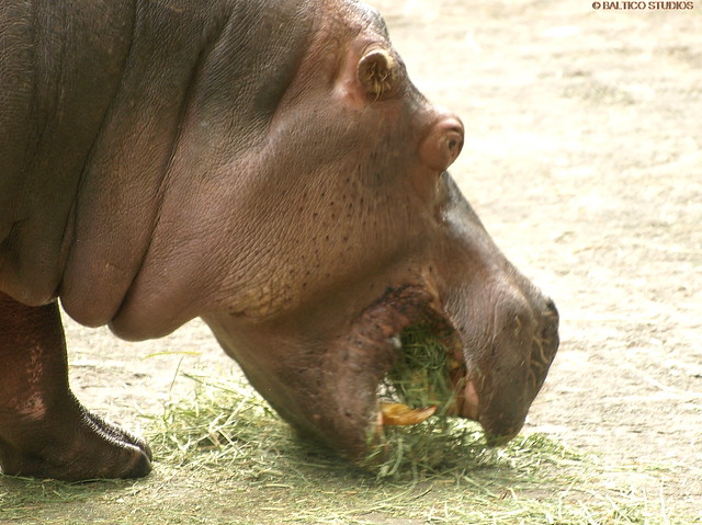 hippopotamus eating wpz P6011589R3   Flickr - Photo Sharing!  Hippopotamus