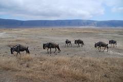 adventure(0.0), grazing(0.0), mustang horse(0.0), cattle-like mammal(1.0), animal(1.0), prairie(1.0), steppe(1.0), wildebeest(1.0), plain(1.0), mammal(1.0), herd(1.0), fauna(1.0), wilderness(1.0), pasture(1.0), savanna(1.0), grassland(1.0), safari(1.0), wildlife(1.0),