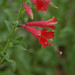 California fuchsia - Photo (c) Jerry Oldenettel, some rights reserved (CC BY-NC-SA)