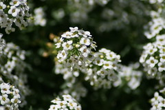 blossom(0.0), shrub(0.0), iberis sempervirens(0.0), branch(0.0), cow parsley(0.0), candytuft(0.0), lilac(0.0), anthriscus(0.0), yarrow(1.0), flower(1.0), plant(1.0), nature(1.0), macro photography(1.0), wildflower(1.0), flora(1.0), produce(1.0), spring(1.0),