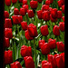 dutch-tulips-3-red-med-close