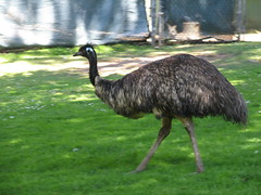 emu, animal, ostrich, flightless bird, fauna, casuariiformes, beak, bird, ratite, wildlife,