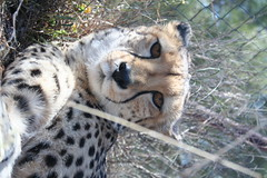animal, snow leopard, big cats, cheetah, zoo, mammal, fauna, safari,