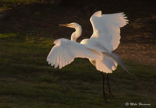 greategret egret heronsandegrets bird downey wildernesspark park bif flight californiausa ardeaalba losangeles sonydsch5 pointandshoot mikeforsman