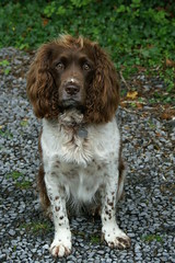 welsh springer spaniel(0.0), drentse patrijshond(0.0), blue picardy spaniel(0.0), dog breed(1.0), animal(1.0), dog(1.0), boykin spaniel(1.0), pet(1.0), stabyhoun(1.0), small mã¼nsterlã¤nder(1.0), field spaniel(1.0), russian spaniel(1.0), picardy spaniel(1.0), spaniel(1.0), german spaniel(1.0), french spaniel(1.0), english springer spaniel(1.0), carnivoran(1.0),