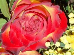 Rosen, Rosas, Roses