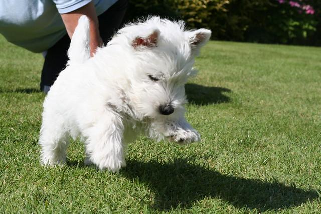 Cute West Highland White Terrier Puppy Running