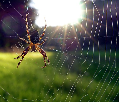 sunset sun animal germany spider village upsidedown spiderweb meadow thuringia cobweb translucent spinne sonne sonnenstrahlen spinnwebe sunray kreuzspinne bürden