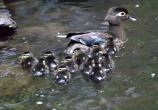 Incredibly Cute Baby Wood Ducks