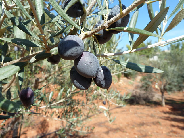 olivetes negres olivas negras