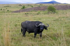 cattle-like mammal, animal, prairie, water buffalo, field, working animal, plain, mammal, horn, grazing, fauna, meadow, cattle, pasture, savanna, grassland, safari, wildlife,
