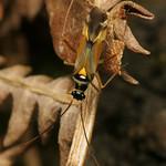 vörössávos mezeipoloska - Cyllecoris histrionius
