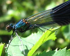 damsel and dragonflies