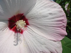 Hibiscus and other Malvaceae (except cotton)