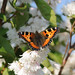 Small photo of Aglais urticae