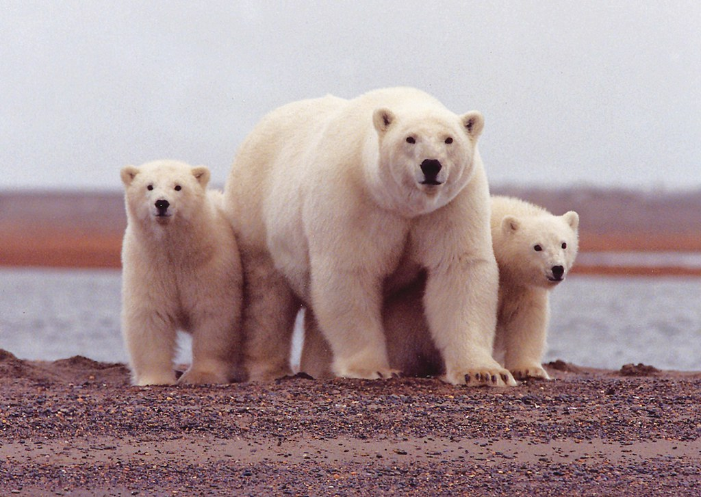 Polar bear cubs by USGS