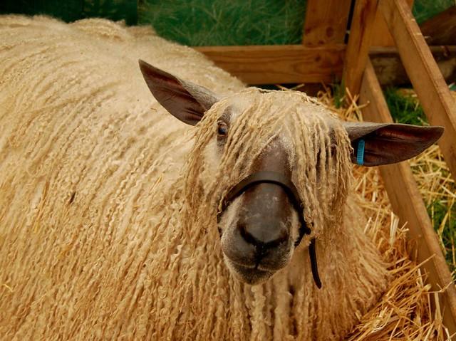 dreadlocked sheep flickr photo sharing