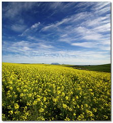 Canola Ultra-Wide (Panorama)