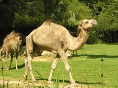 animal, zoo, mammal, fauna, camel, arabian camel, pasture, wildlife,