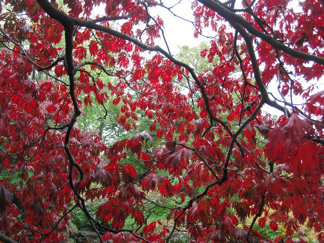 A beautiful view from beneath a Japanese maple (Acer japonicum 'Aconitifolium') in the Japanese Hill-and-Pond Garden. Photo by Rebecca Bullene.
