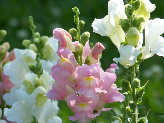 Snap Dragon Flowers 02 White And Pink Snap Dragon Flowers Flickr