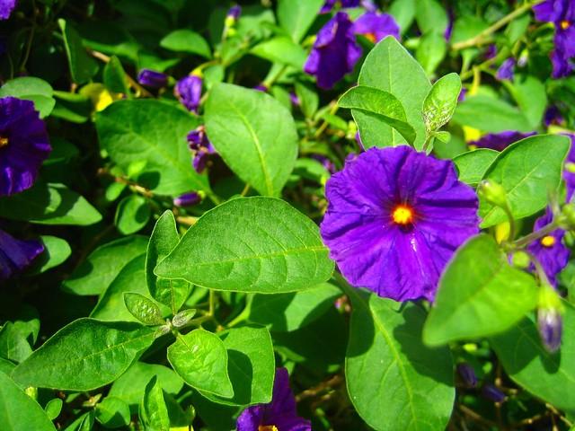 purple potato p...