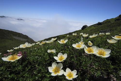 三峰山-上富良野岳 お花畑