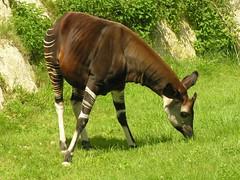 cattle-like mammal(0.0), antelope(0.0), horn(0.0), bongo(0.0), safari(0.0), animal(1.0), grass(1.0), okapi(1.0), grazing(1.0), fauna(1.0), meadow(1.0), giraffidae(1.0), pasture(1.0), grassland(1.0), wildlife(1.0),