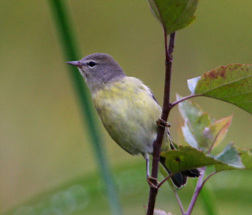 Orange-crowned Warbler (immature)