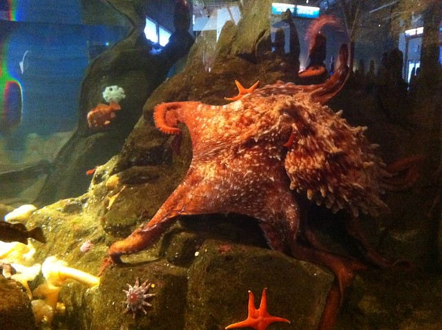 Giant Pacific Octopus At Seattle Aquarium Side View
